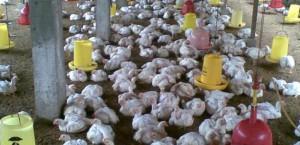 Investasi Ternak Unggas di Lebak Banten Capai 1 Triliun