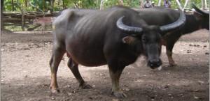 Kerbau, Komoditas Potensial Banten