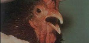 Jenis- Jenis Penyakit Yang Menyerang Ayam Ras Petelur, Dan Tindakan Pencegahannya Bagian 1 Chronic Respiratory Disease (CRD)