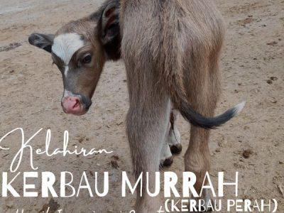 KELAHIRAN KERBAU MURRAH ( KERBAU PERAH ) HASIL INSEMINASI BUATAN ( IB )